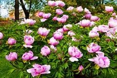 Pink peonies Stock Image