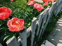 Pink peonies growing in garden next to wooden fence, sidewalk Stock Photo