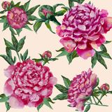 Pink peonies hand painted. Peony with buds and leaves, watercolor. Can be used as greeting card, Invitation card for wedding birthday and other holiday. on a vector illustration