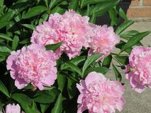 Pretty in pink peonies -- smell their sweet fragrance?. Pink peonies in a large bush surrounded by lush green leaves and by the bud and fully in bloom -- they royalty free stock photos