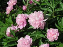 Pretty in pink peonies -- smell their sweet fragrance?. Pink peonies in a large bush surrounded by lush green leaves and by the bud and fully in bloom -- they stock photo