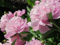 Pretty in pink peonies -- smell their sweet fragrance?. Pink peonies in a large bush surrounded by lush green leaves and by the bud and fully in bloom -- they royalty free stock photography