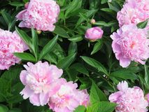 Pretty in pink peonies -- smell their sweet fragrance?. Pink peonies in a large bush surrounded by lush green leaves and by the bud and fully in bloom -- they stock photos