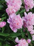 Pretty in pink peonies -- smell their sweet fragrance?. Pink peonies in a large bush surrounded by lush green leaves and by the bud and fully in bloom -- they royalty free stock images
