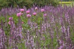 Pink peonies. Among Lythrum virgatum - Dropmore Purple stock image