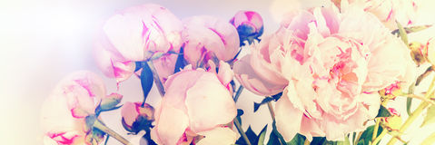 Pink peonies on pastel background with copyspace Royalty Free Stock Photos