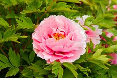 Pink peonies Royalty Free Stock Photo