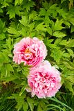 Pink peonies Royalty Free Stock Image