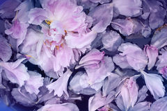 Pink peonies petals background in water Stock Images