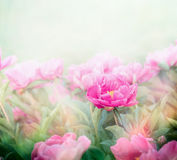 Pink peonies plant in garden or park. Soft focus Royalty Free Stock Image