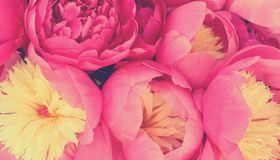 Pink peonies romantic flowers background royalty free stock photos