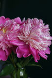Pink peonies in vase Stock Photos