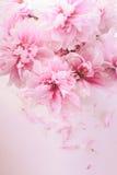 Pink peonies in vase Stock Photo