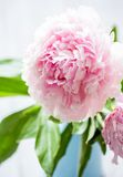 Pink peonies Stock Photos