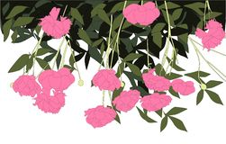 Pink peonies vector illustration flowers green leaves vector illustration