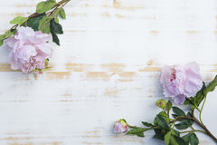 Pink peonies on white rustic wooden background stock photo