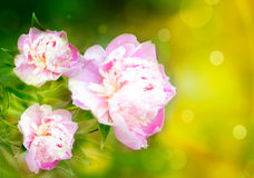 Pink peonies on a yellow background. Pink peonies on the background in warm colors with bokeh Stock Images