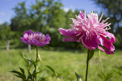 Pink peons  in the summer sun in the garden. Royalty Free Stock Images