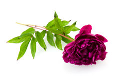 Pink peony. Isolated on white background royalty free stock photography