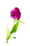 Pink peony. Isolated on white background stock photography