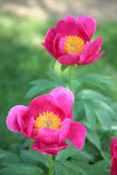 Pink peony. Peony flower green color garden pink summer Stock Photo