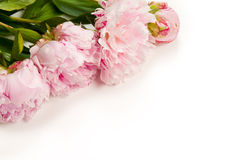 Pink Peony. Pink peonies with white background Stock Photography