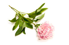 Pink peony. Beautiful pink peony with white background Stock Photography