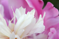Pink peony Royalty Free Stock Photos
