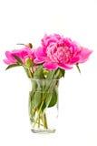 Pink peony Stock Photography