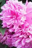 Pink peony Royalty Free Stock Image