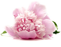 Pink peony. Flower on white background. isolated royalty free stock image