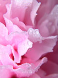 Pink peony background Stock Photos