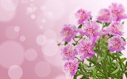 Pink peony on background Royalty Free Stock Image