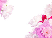 Pink peony background. Oil texture on the white-pink flower background. Royalty Free Stock Photos