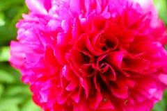 Paeonia gardenia pink peony flower head close up