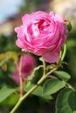 Pink Peony. A beautiful single pink peony in sunshine Stock Photos