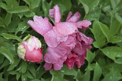 Pink peony and big bud with leaves and plants. Pink flowers and water drops. Rain weather. Flowers in the park stock photos