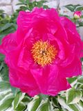 Pink Peony. Peony bloom garden flower Royalty Free Stock Image
