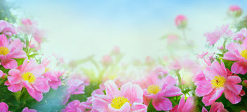 Pink peony blooming, banner for website Royalty Free Stock Photo