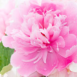 Pink peony blooming in garden. Royalty Free Stock Image