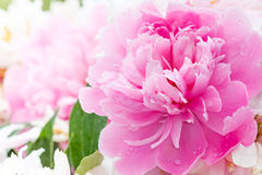 Pink peony blooming in  garden. Royalty Free Stock Photo