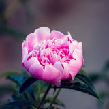 Pink peony blooming in garden. Stock Photography