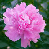 Pink peony blooming in the garden Stock Photos