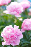 Pink peony blooming in the garden Royalty Free Stock Photos