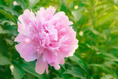 Pink peony blooming in the garden Stock Images