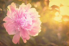 Pink peony blooming in the garden Stock Photography