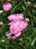 Pink Peony blossoms  in garden. Double pink peony's several blossoms and buds showing Stock Images