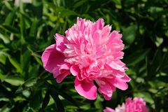 Pink peony in the Botanical Garden. Pink peony, photographed in the Botanical Garden of St. Petersburg royalty free stock image