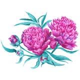 Pink Peony Botanical Illustration Stock Image