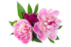 Pink peony bouquet Royalty Free Stock Photography